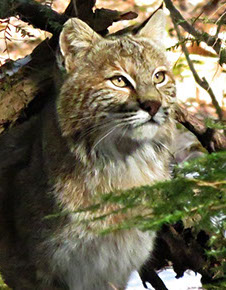 Tamworth Bobcat